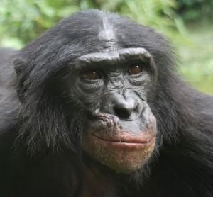 cropped bonobo