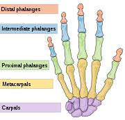The distal phalange of the cave girl's little finger contained a mother lode of endogenous DNA.